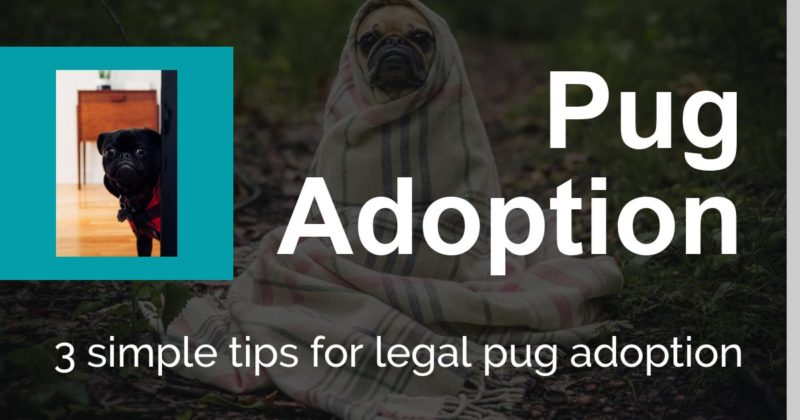 Rescue A Pug - 3 Simple Tips For Legal Pug Adoption